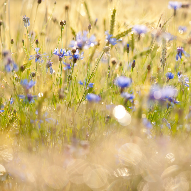 """Cornflowers after the rain"" stock image"