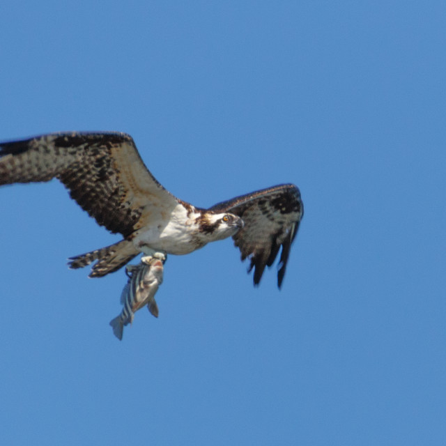 """Osprey in flight carrying fish"" stock image"