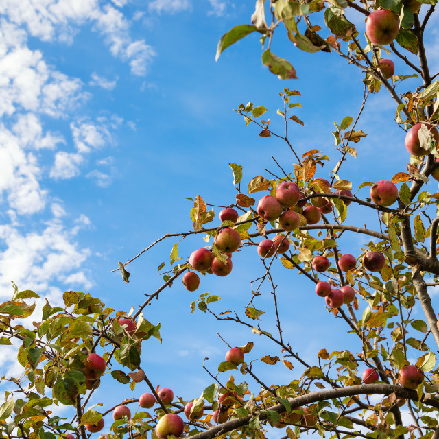 """Upward view of an autumn apple tree against blue sky and white c"" stock image"