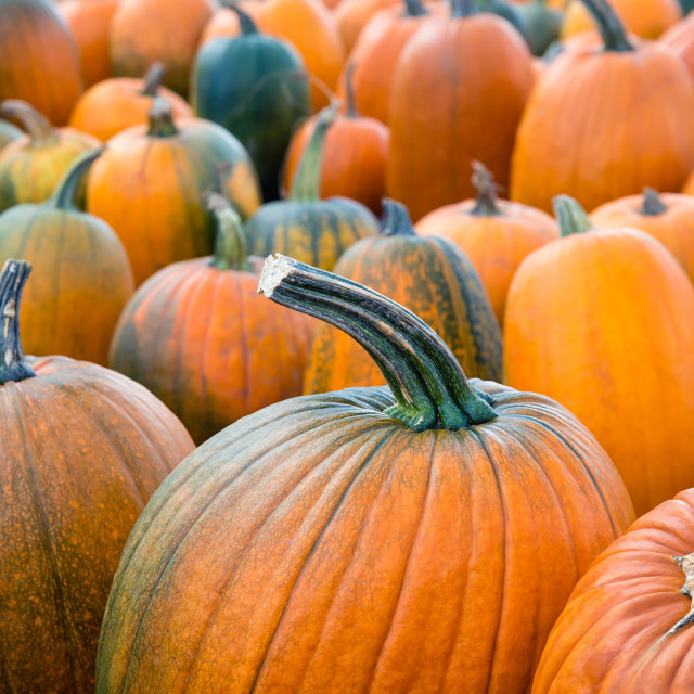 """Autumn pumpkins at the pumpkin patch"" stock image"