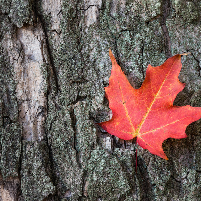 """Red autumn maple leaf against tree bark"" stock image"