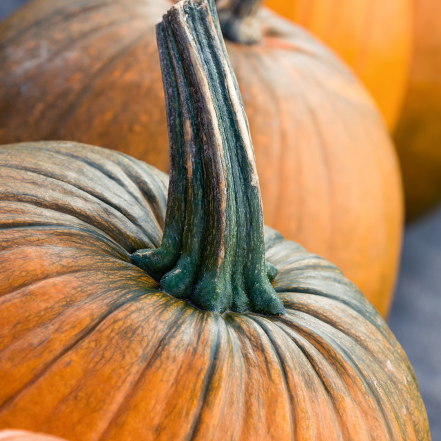 """Pumpkins closeup in autumn"" stock image"
