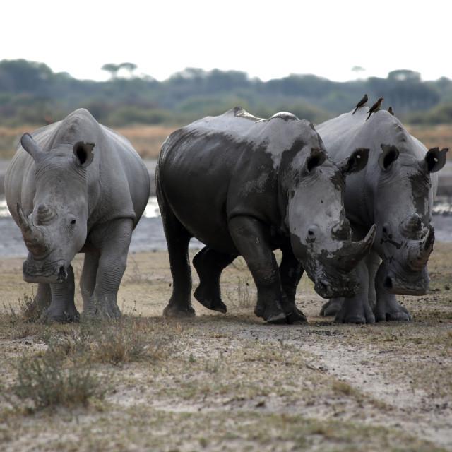 """""""3 Rhino's"""" stock image"""