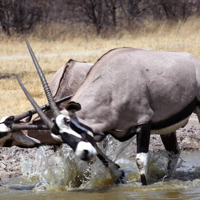 """Oryx Clash"" stock image"
