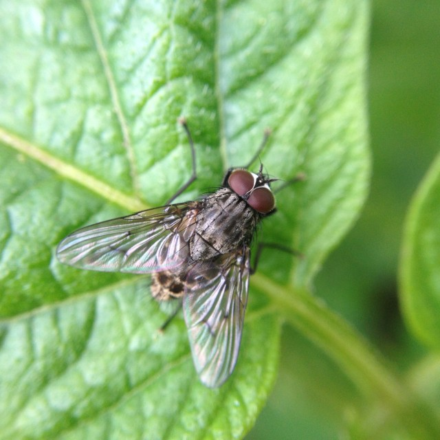 """""""Common fly"""" stock image"""