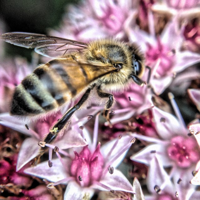 """Bee busy pollinating"" stock image"
