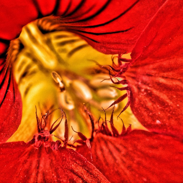 """Close up of a nasturtium"" stock image"