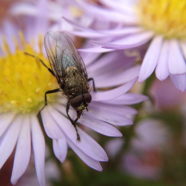 """Fly on michaelmas daisy"" stock image"