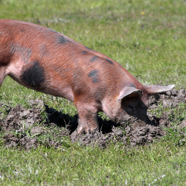 """""""little pig in a mud"""" stock image"""