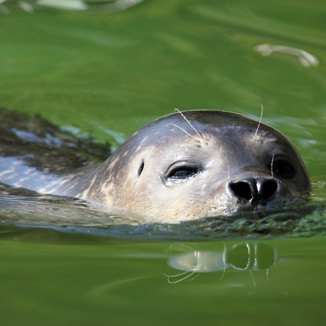"""seal swimming nature wildlife scene"" stock image"