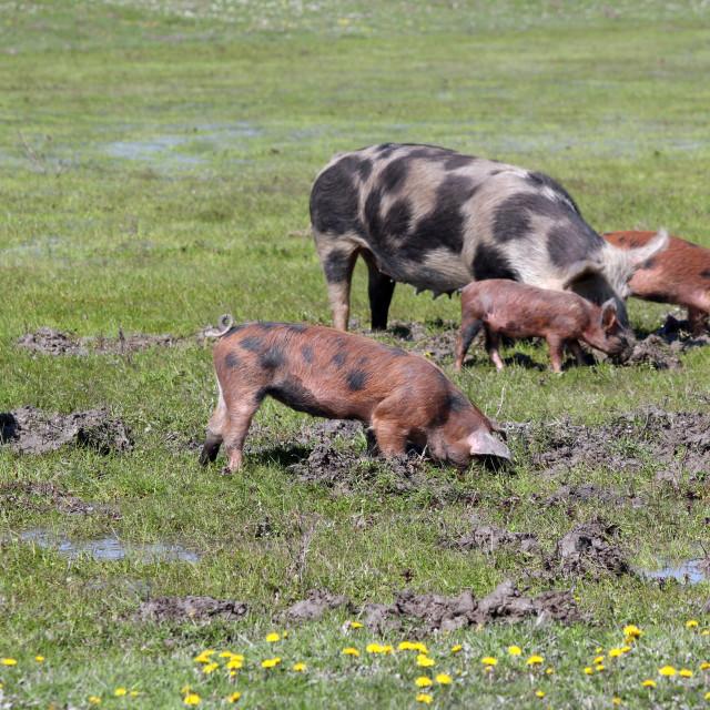 """pigs in a mud farm scene"" stock image"