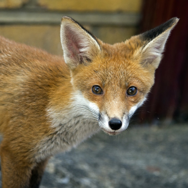 """""""Young Fox"""" stock image"""