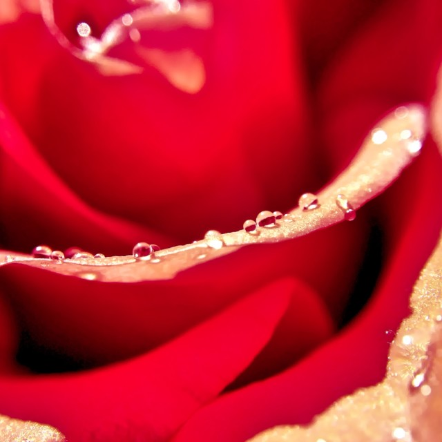 """Raindrops on rose petal"" stock image"