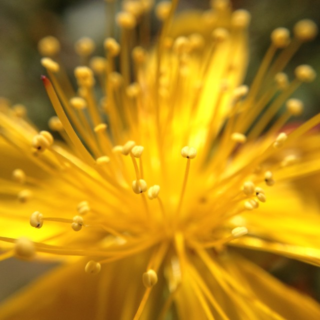 """Hypericum flower"" stock image"