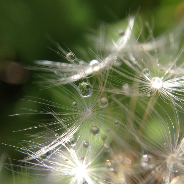 """Rain on a dandelion seed head"" stock image"