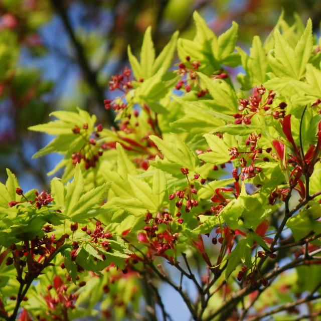 """Japanese Maple in springtime"" stock image"