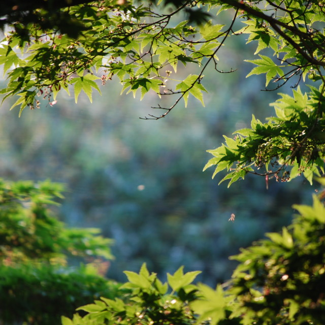 """Through the Japanese Maple"" stock image"