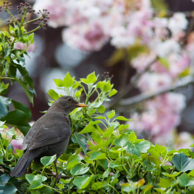 """Blackbird in Ivy"" stock image"