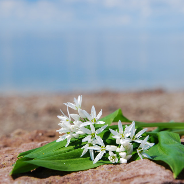 """Fresh wood garlic"" stock image"