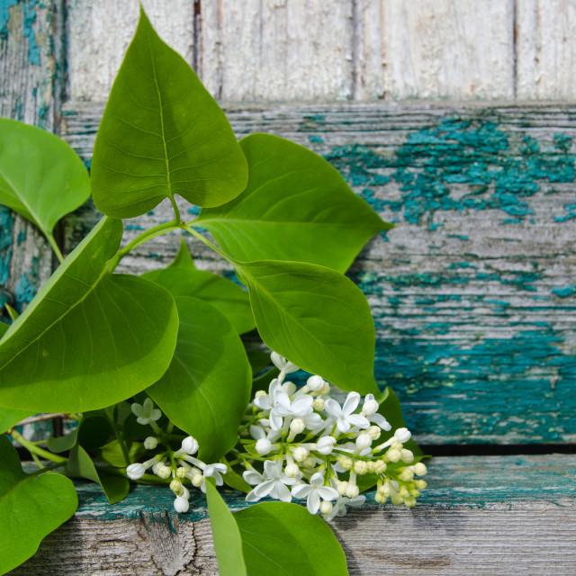 """White lilacs branch"" stock image"