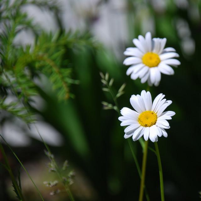 """""""Daisy wildflower closeup"""" stock image"""