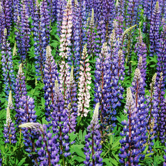 """Colorful lupines all over"" stock image"