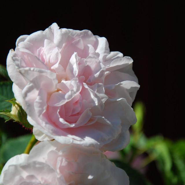 """""""Pink rose closeup"""" stock image"""