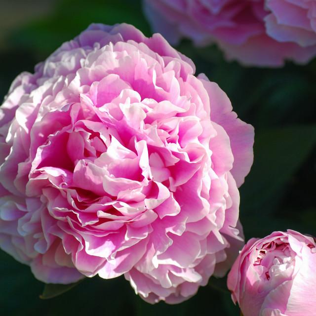 """""""Blossom piony flower"""" stock image"""