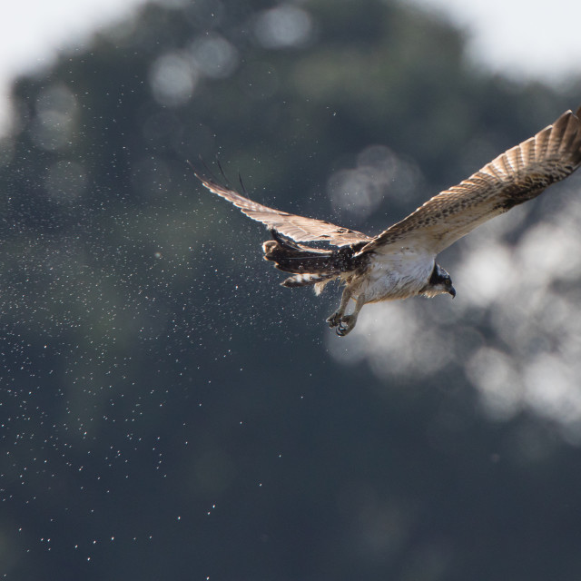 """Osprey with Fish"" stock image"