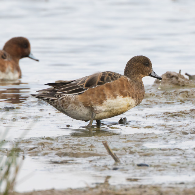 """Female Widgeon Duck"" stock image"