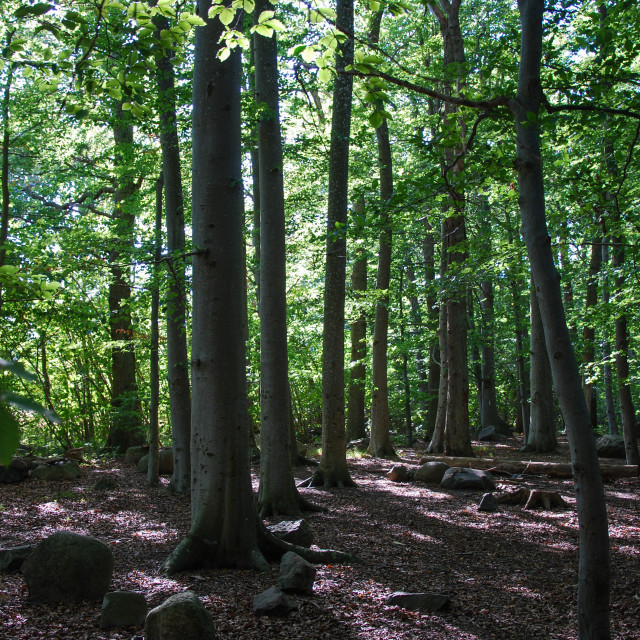 """""""Beech forest view"""" stock image"""