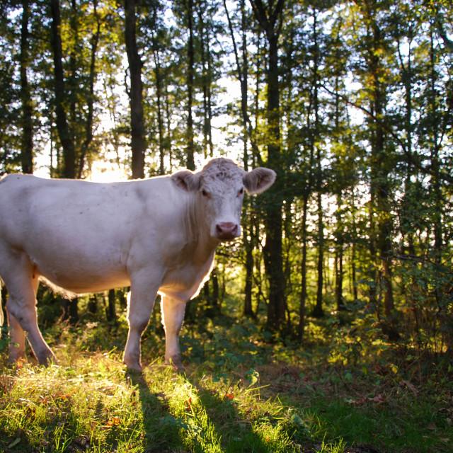 """""""Shiny charolais cow"""" stock image"""