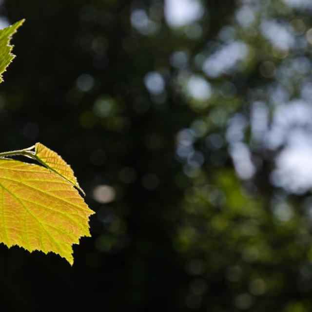 """""""Backlit reddish hazel leaf"""" stock image"""