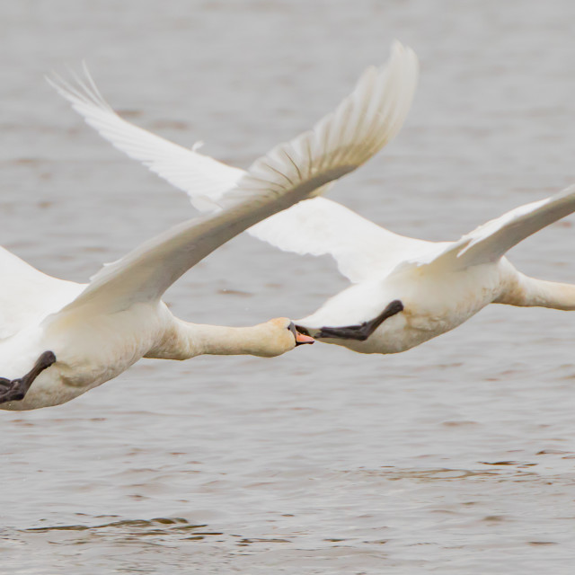 """Mute Swans at Low Level"" stock image"