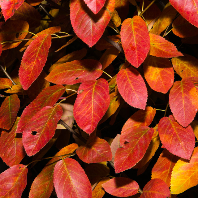 """""""Colored shadblow leaves"""" stock image"""