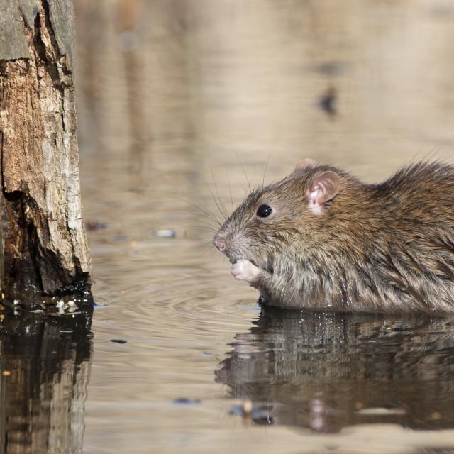 """Rat in Water"" stock image"