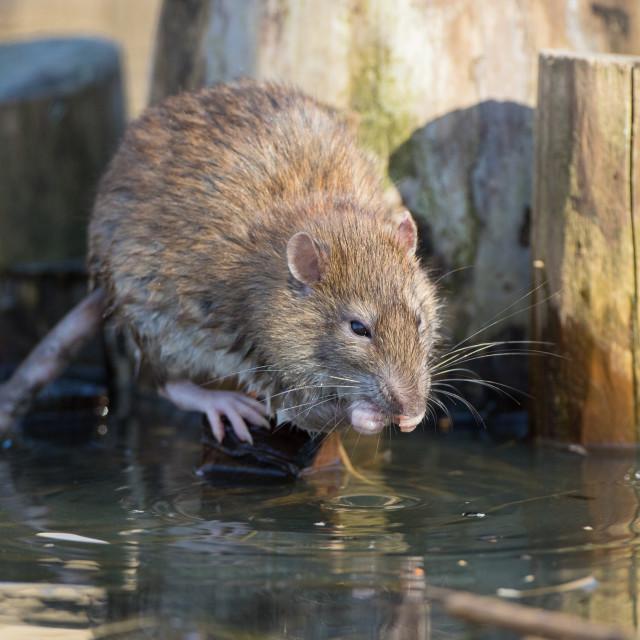 """""""Rat Eating"""" stock image"""