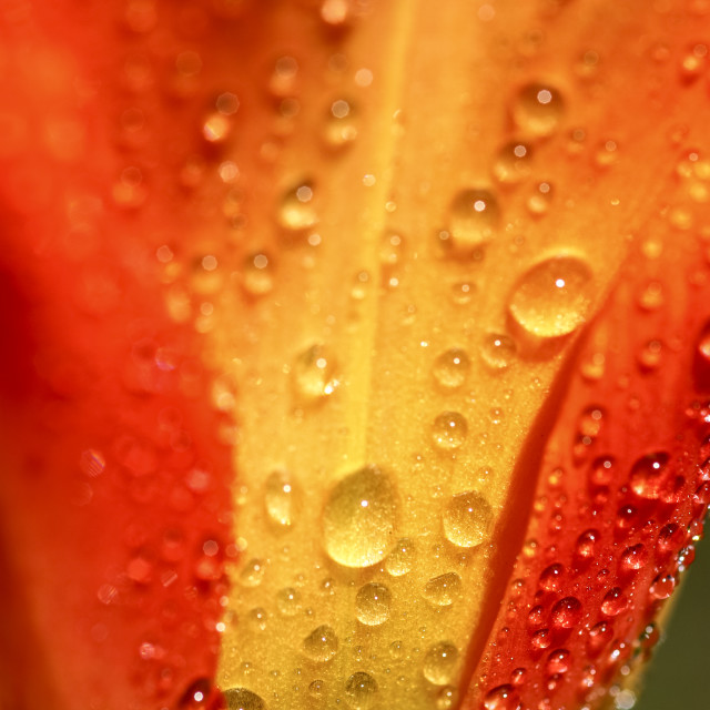 """Macro tulip"" stock image"