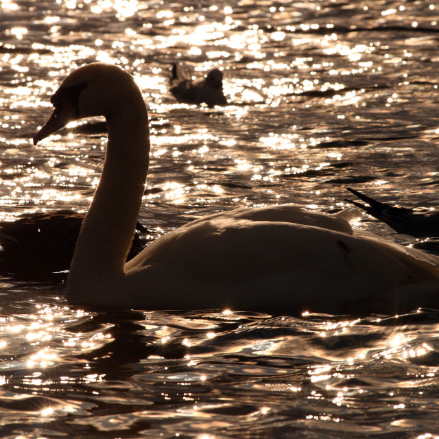 """""""Swan in silhouette"""" stock image"""
