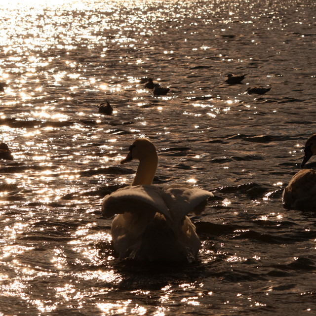 """""""Swans in silhouette"""" stock image"""