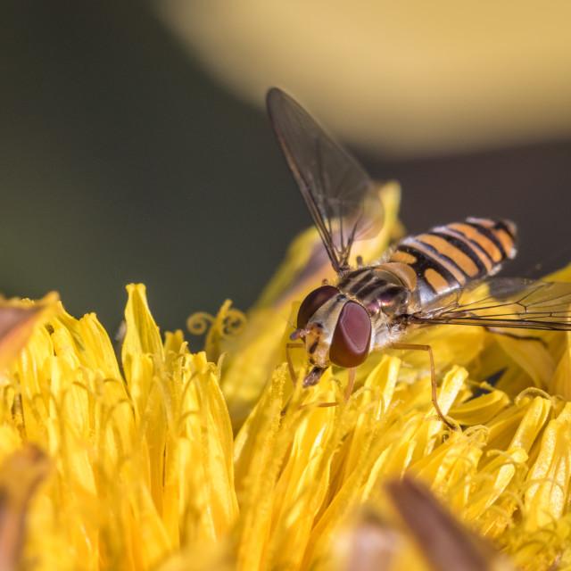 """Marmalade hoverfly Episyrphus balteatus"" stock image"