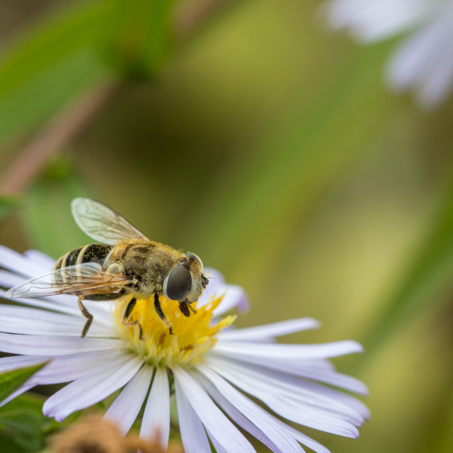 """""""Hoverfly on white flower"""" stock image"""