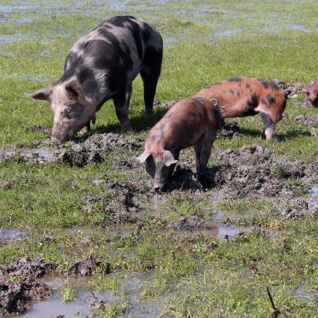 """""""sow and little pigs in a mud"""" stock image"""