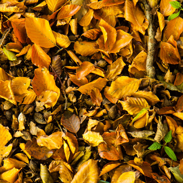 """Beech leaf litter"" stock image"
