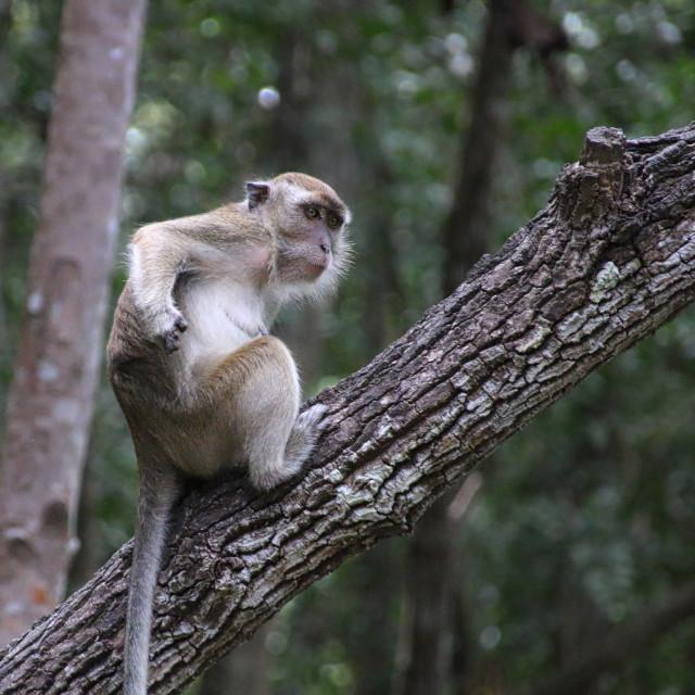 """Cheeky Monkey, Borneo"" stock image"