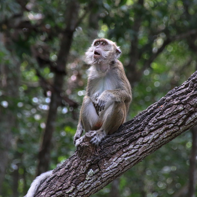 """Curious Monkey, Borneo"" stock image"