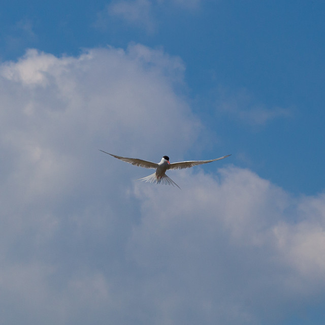 """Common Tern Hovering"" stock image"