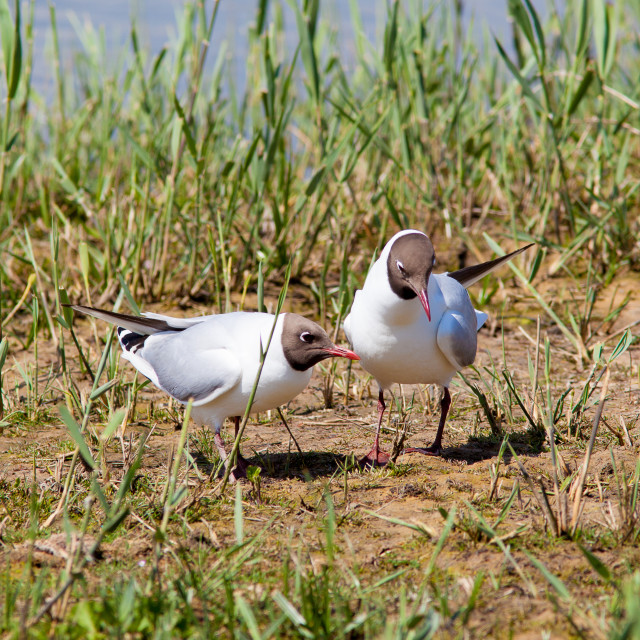 """Pair of Black-Headed Gulls"" stock image"