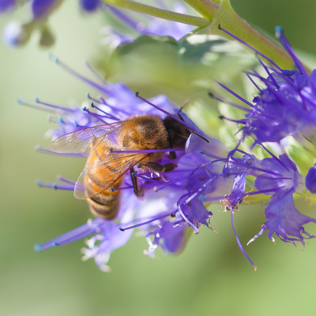 """Bee in Flower"" stock image"