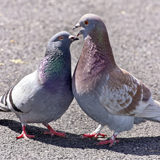 """""""Pigeons in conversation"""" stock image"""